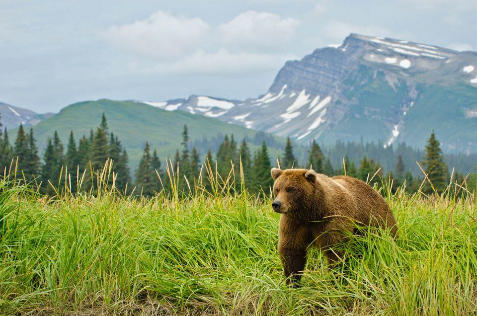 Медведь на Аляске