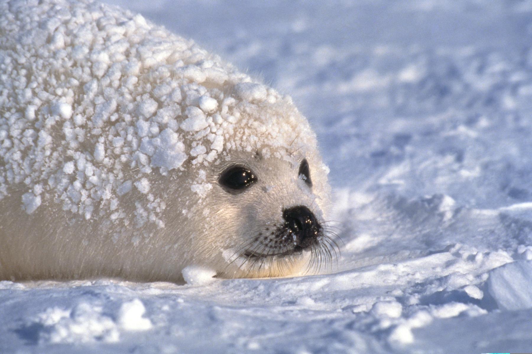 Куда зимой поехать в России? На Белое море! На фото — белёк, детеныш тюленя