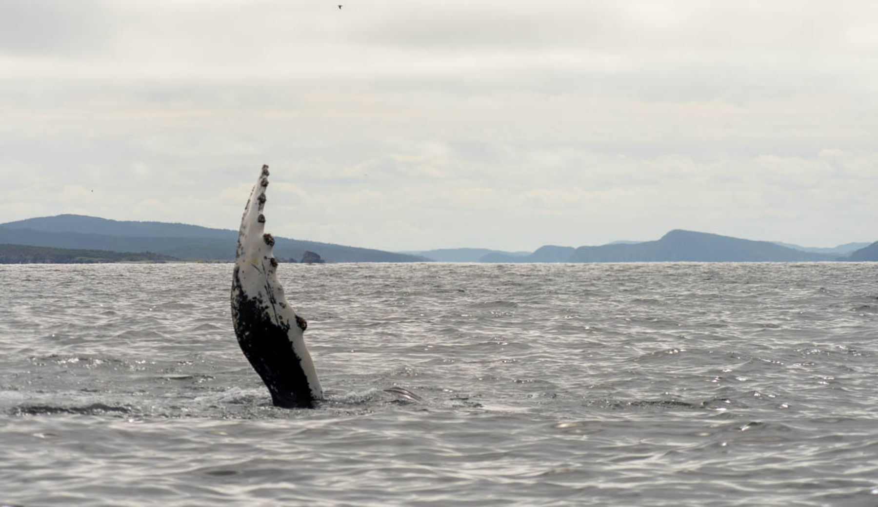 whale fin perched up on the water on a whale watching tour in central Newfoundland