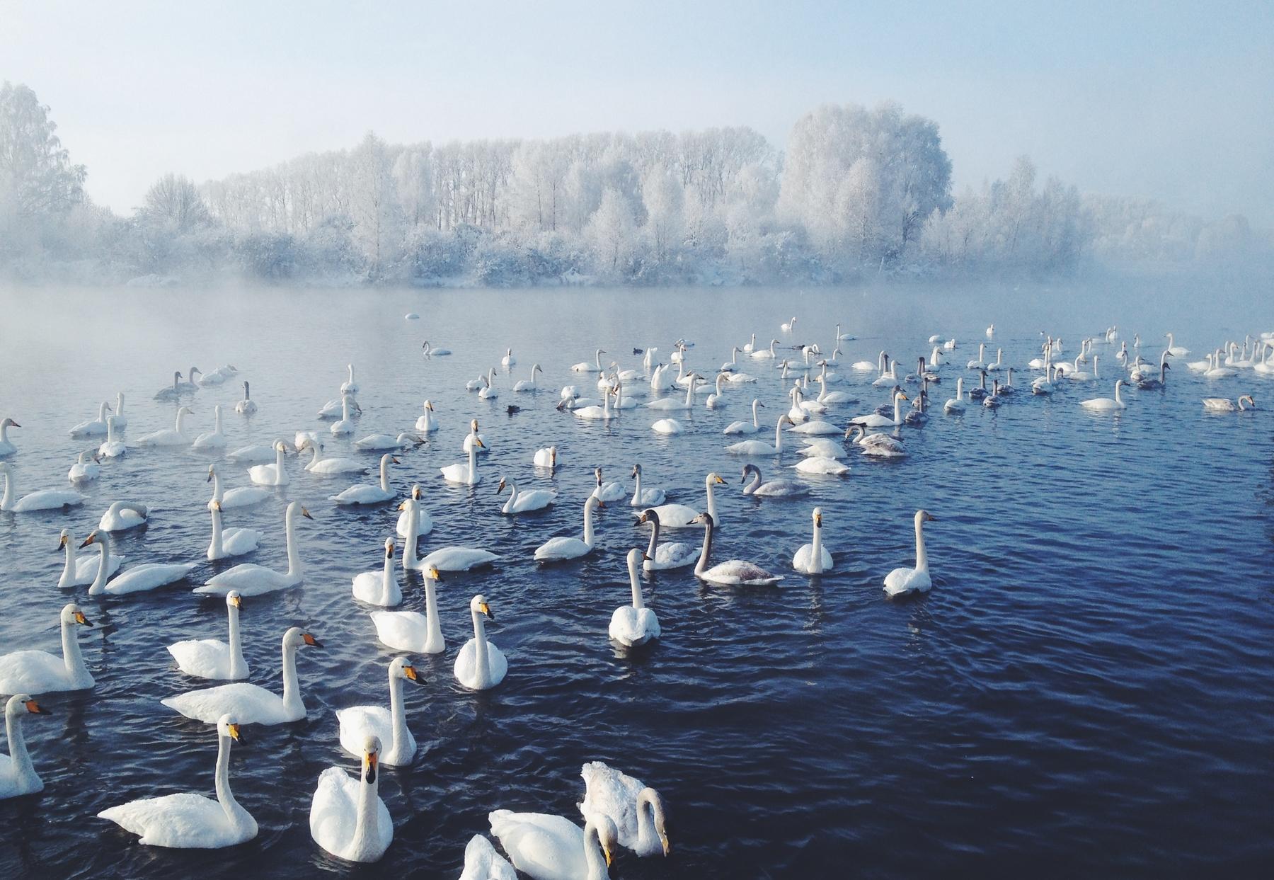 Лебеди-кликуны, зимующие на озере Светлое на Алтае