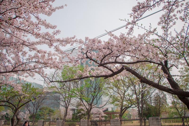 永登浦汝矣島(ヨンドゥンポ ヨイド)春の花祭り2