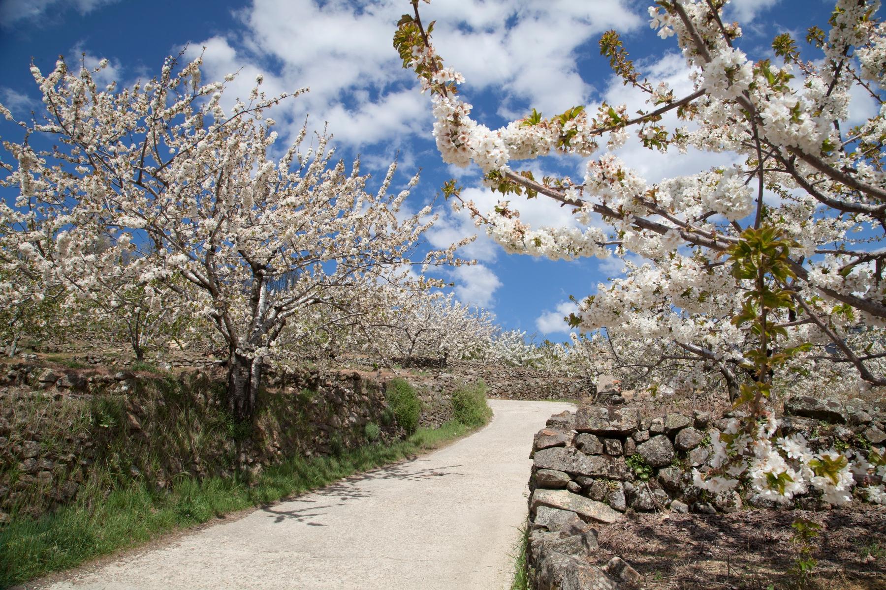 viajar en marzo al valle del Jerte, cerezos en flor