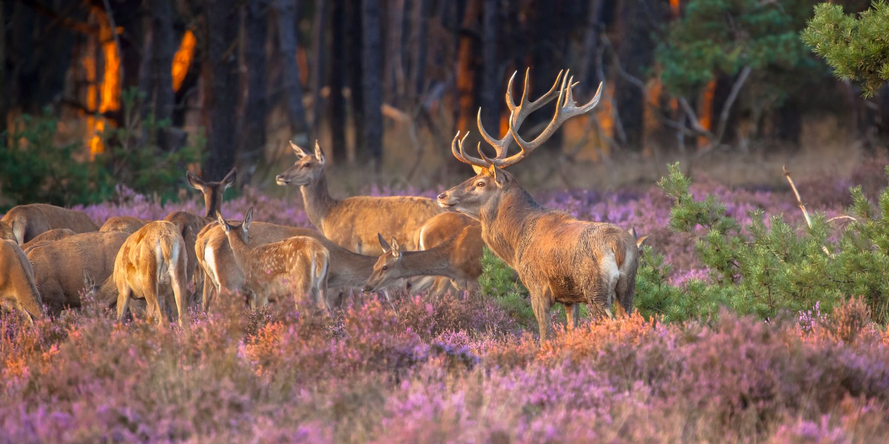 Wild spotten op de Veluwe in Nederland