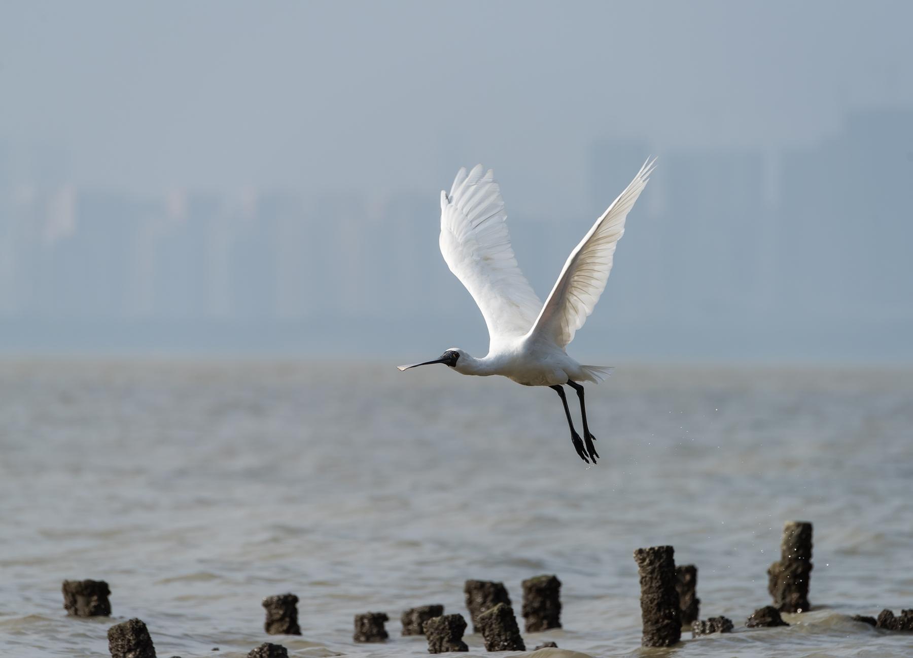 飛翔的白鷺