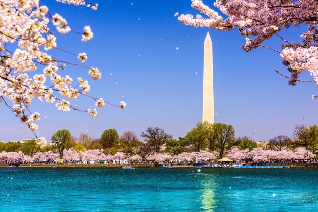 Cherry blossom, Washington DC