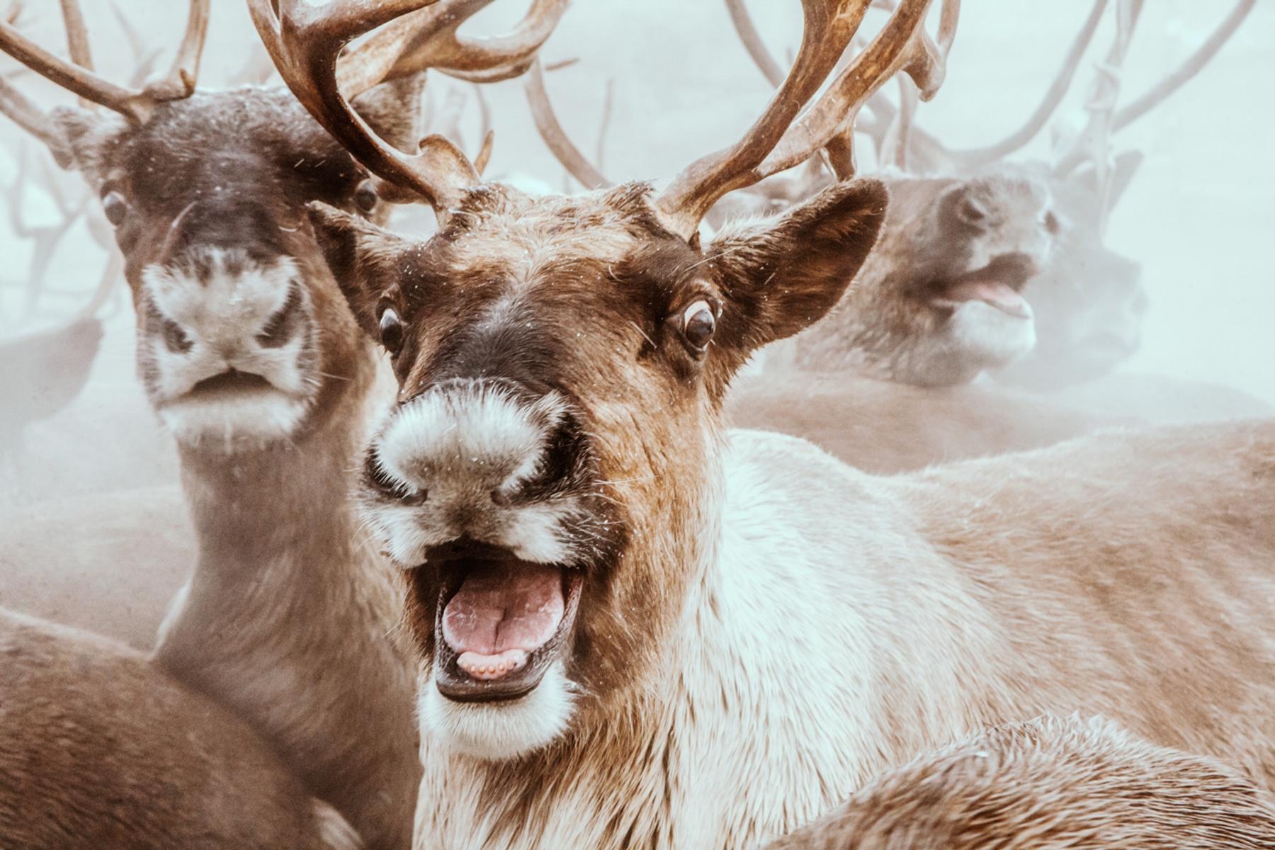 На Камчатке каких только животных не увидишь: от диких медведей и лис до домашних северных оленей