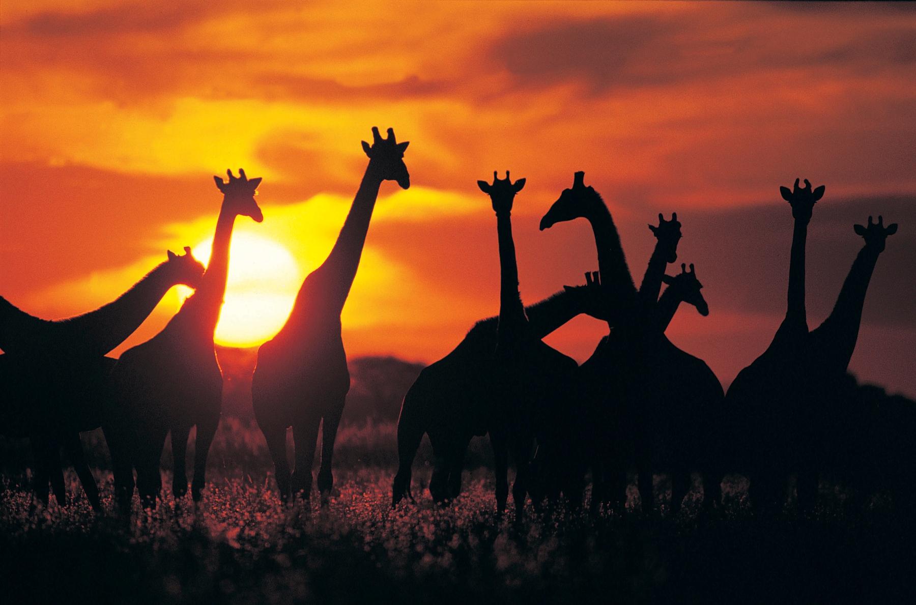 Herd of giraffes in Botswana at sunset