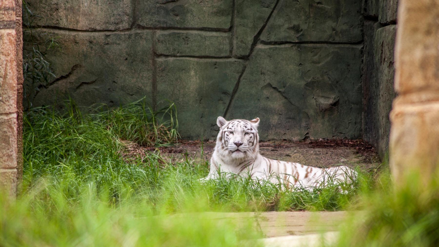 a white tiger at Rancho Texas Park Lanzarote