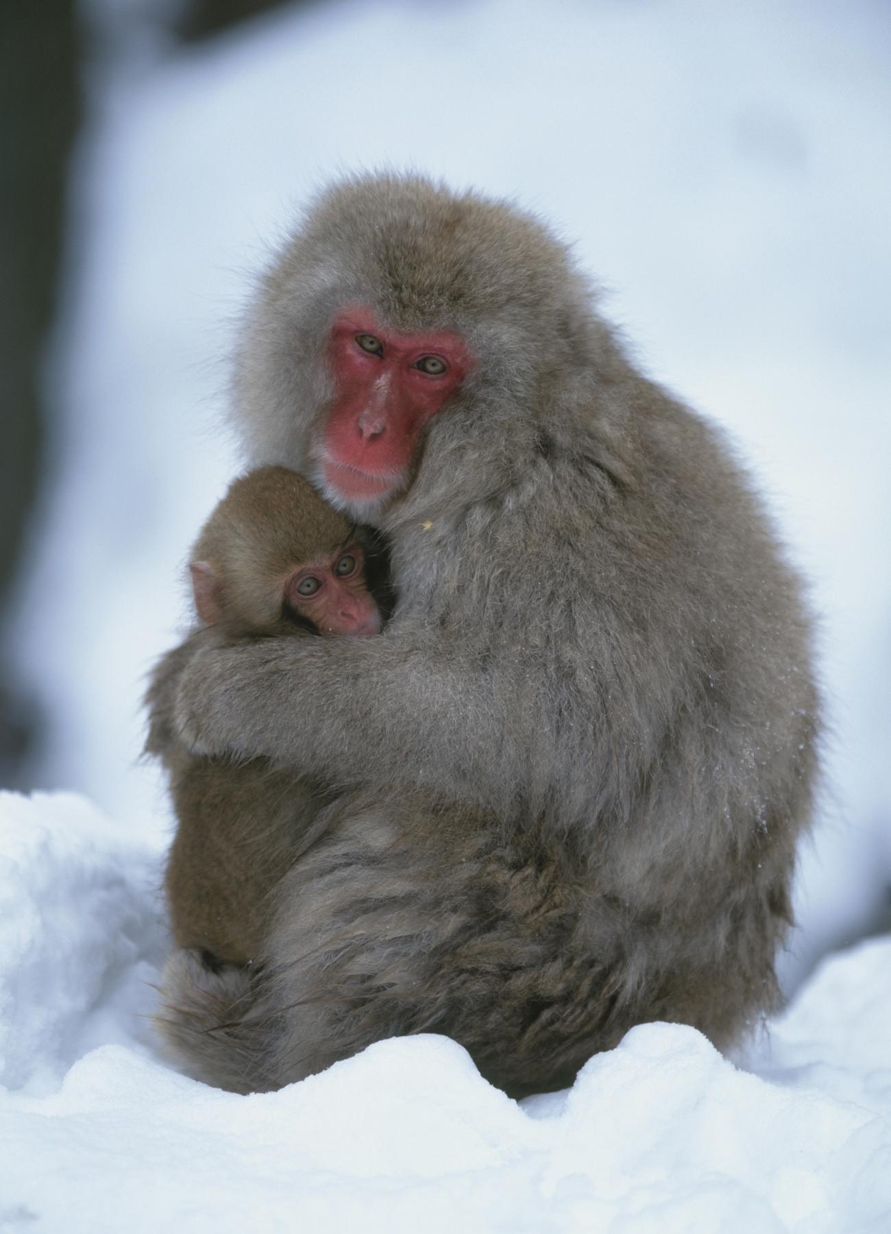 Μαϊμού αγκαλιά με το μαϊμουδάκι της στο Πάρκο Μαϊμούδων Jigokudani, Ιαπωνία