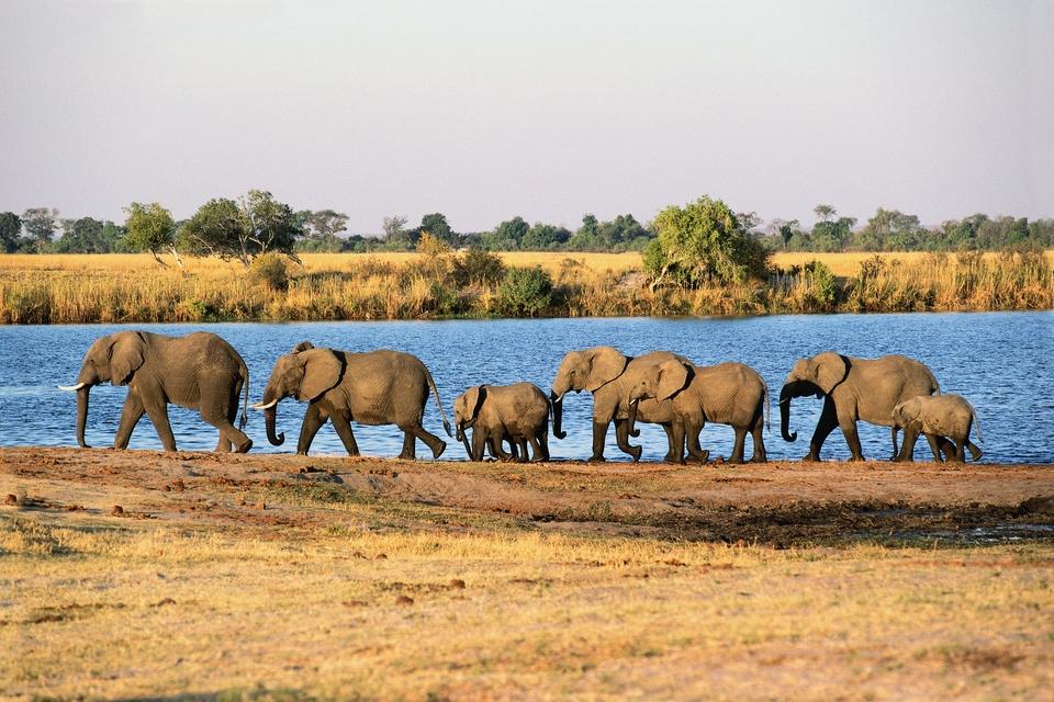 Vilda elefanter i Botswana