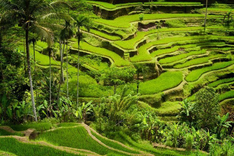 Рисовые поля в Джатилувих на Бали