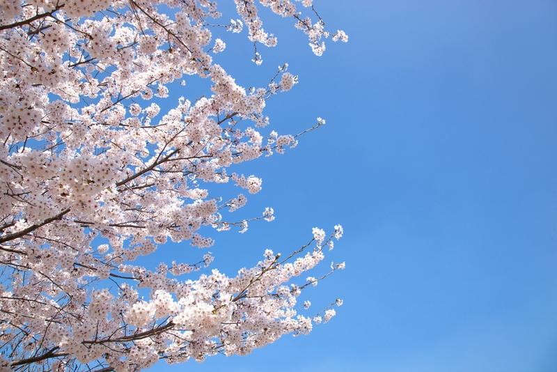 永登浦汝矣島(ヨンドゥンポ ヨイド)春の花祭り4