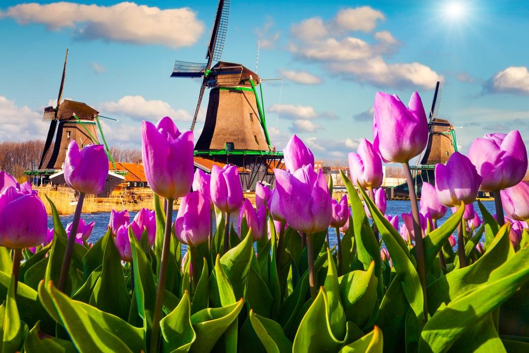 Ανεμόμυλοι και τουλίπες στην Ολλανδία - κλείστε αεροπορικά για Άμστερνταμ φέτος την άνοιξη