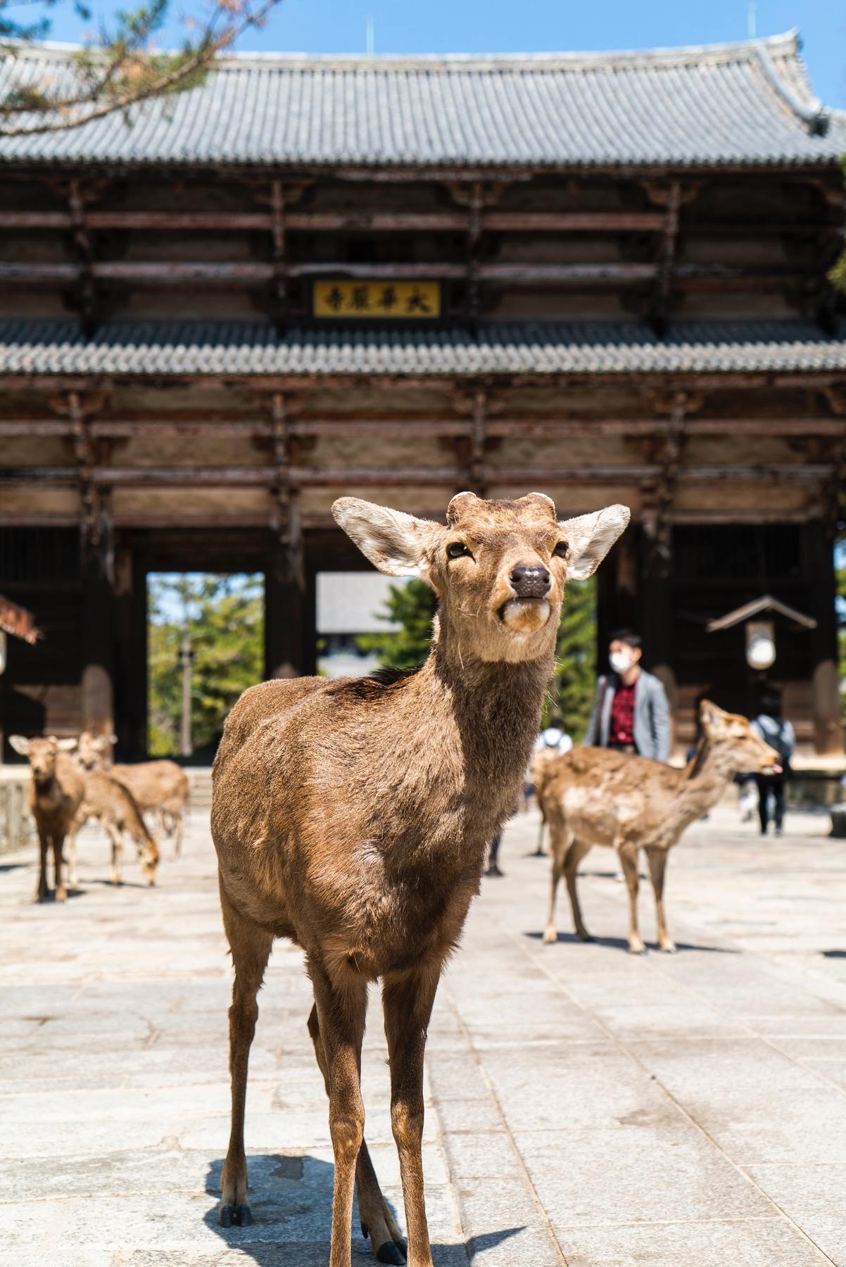 Удивительные места Японии: парк Нара с дикими оленями