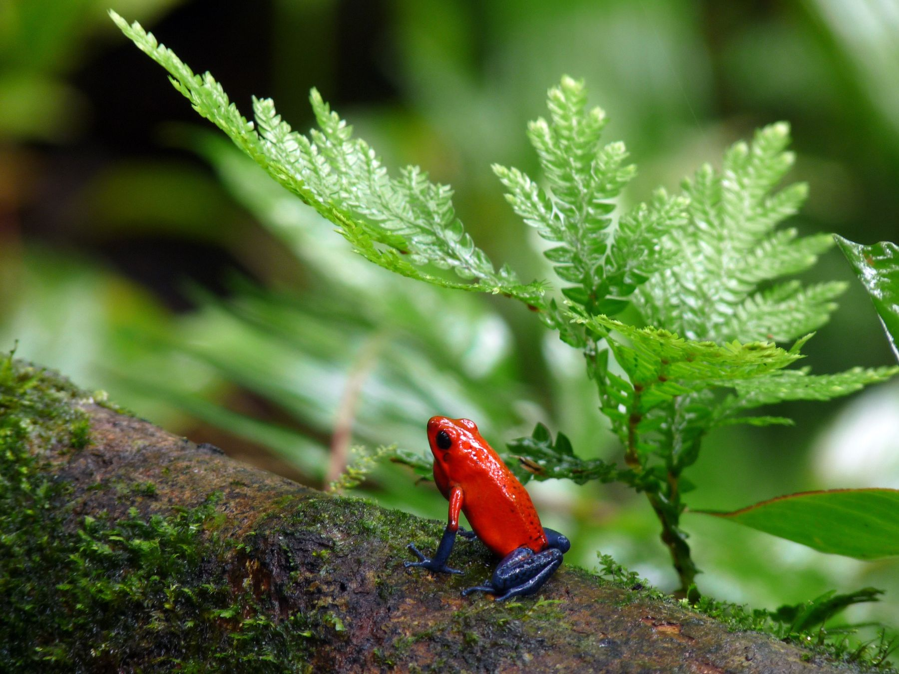 Blue-Jeans or Strawberry Poison-Dart Frog, Costa Rica