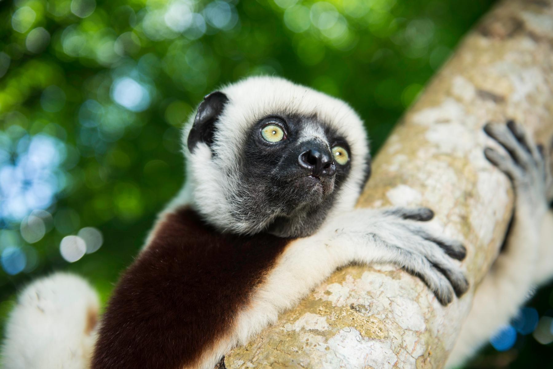lemur holding onto a tree in madagascar