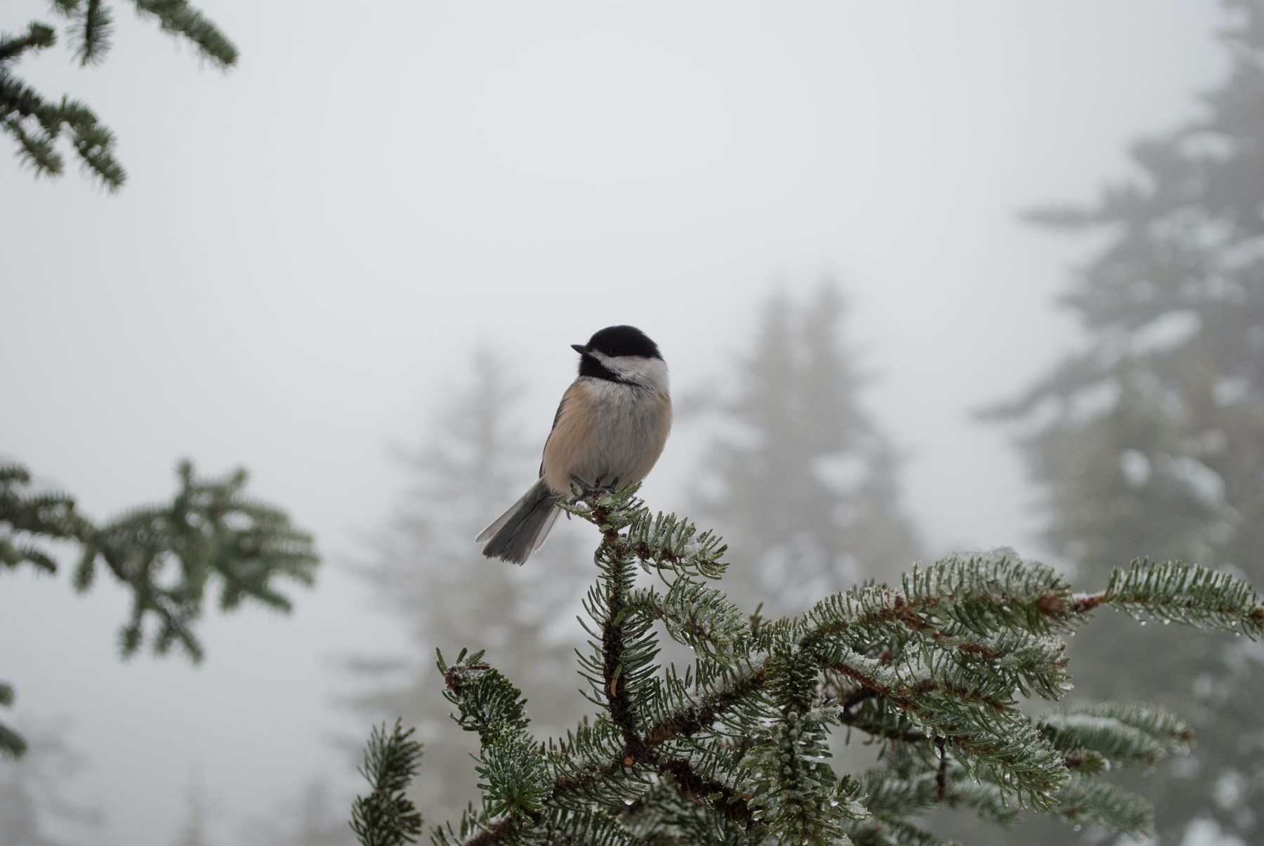 bird perched on a tree in the snow in Sutton, Quebec, one of the best hikes near Montreal