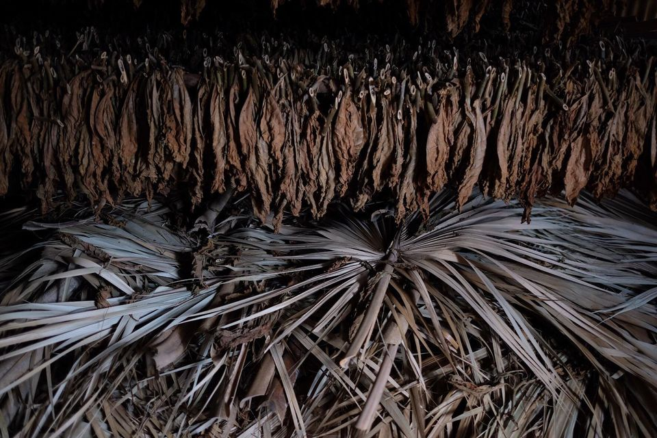 feuilles de tabac qui sèchent