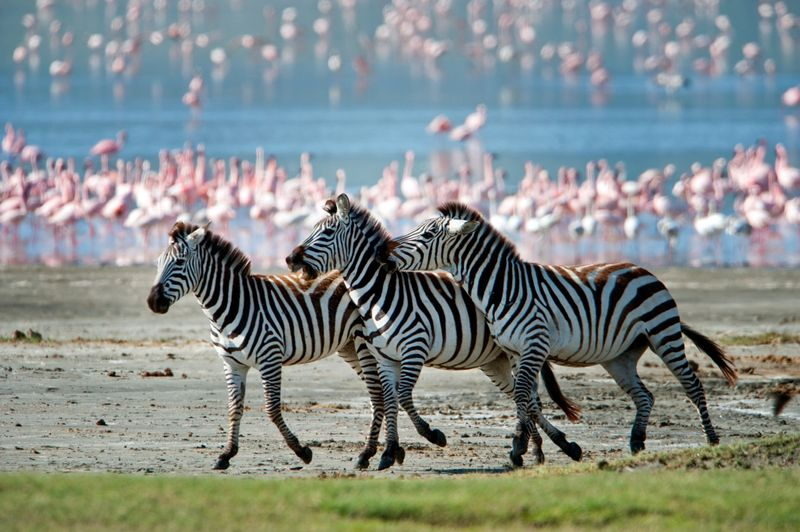 Зебры и фламинго в Танзании