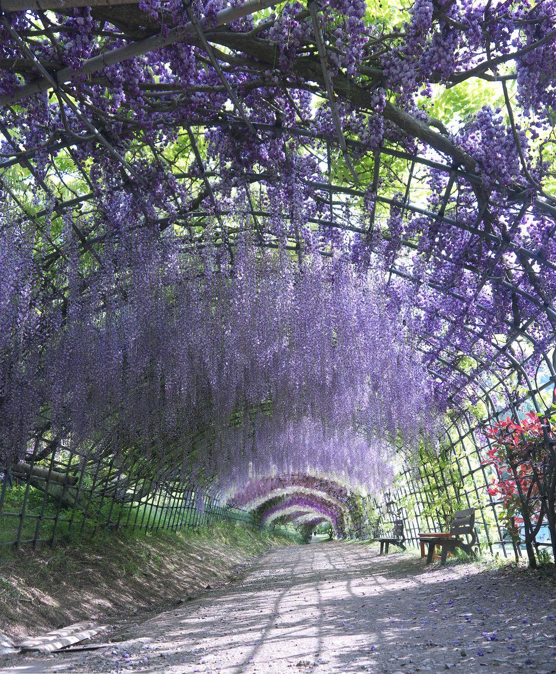 Тоннель глициний, Китакюсю, Япония
